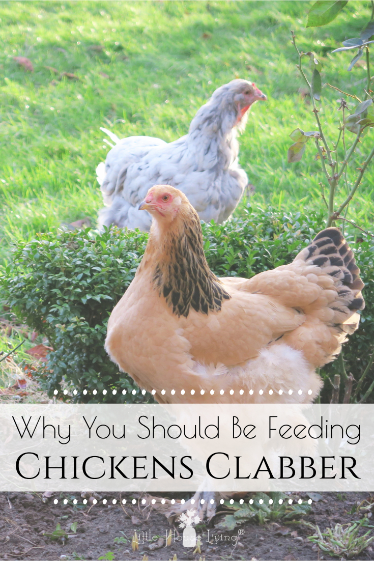 Learn all about how to make and feed clabbered milk to your chickens. A frugal way to provide your chickens with extra protein, calcium, and good bacteria they need. #clabberedmilk #rawmilk #fermentation #chickens #backyardchickens #homestead