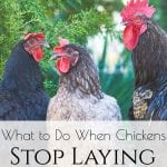"Do you enjoy having backyard chickens but lately have come across some issues in your chicken egg production that you are finding difficult to deal with? Here are some tips and ideas along with a helpful ""old-timers"" remedy! #chickens #backyardchickens #raisingchickens"