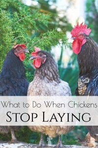 """Do you enjoy having backyard chickens but lately have come across some issues in your chicken egg production that you are finding difficult to deal with? Here are some tips and ideas along with a helpful """"old-timers"""" remedy! #chickens #backyardchickens #raisingchickens"""