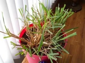 Trimming Lemongrass