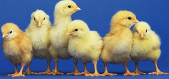 Setting Hens