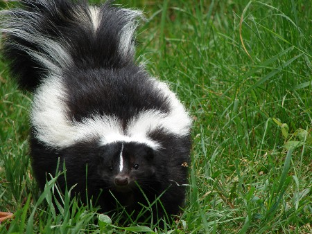 The Story of the Skunk