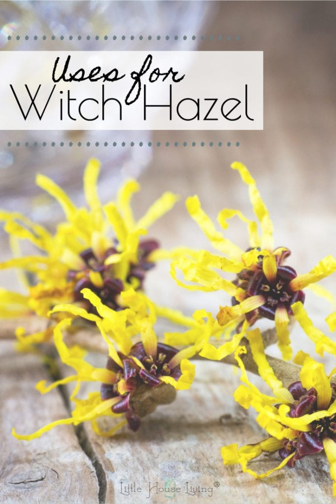 Witch Hazel is frequently used in DIY products, but do you know why? Learn more about the many benefits and uses for witch hazel with these practical tips and ideas. #witchhazel #diy #usesforwitchhazel #usingwitchhazel #benefitsofwitchhazel