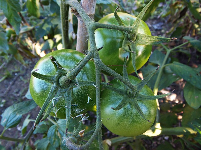 Uses for Green Tomatoes