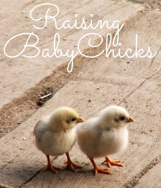 Raising Baby Chickens: A Beginner's Guide - Little House Living