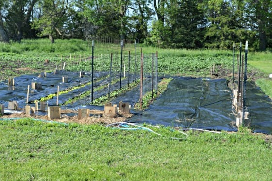 Garden with plastic mulch