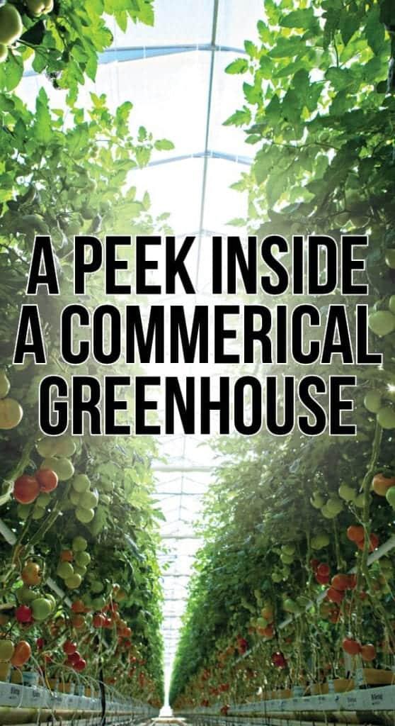Inside a Commercial Greenhouse: A Tour of Bushel Boy Farms